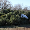 Old Christmas trees pile up in Nahant. The trees will be chipped into mulch. Photo by Owen O'Rourke