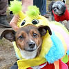 "Lynn, Barkland Dog Park, Halloween dog costume contest. ""Bella"" owned by Michael Cotter, Lynn.  Bella is a caterpillar. Michael is adjusting her costume."