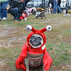 "Lynn, Barkland Dog Park, Halloween dog costume contest.  ""Selkie"" owned by Shala and Bill Gotimer, Lynn, models her lobster costume.  She won the contest."