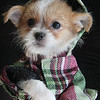 Don't be foolish. Dress for the cold weather as the Jack Russell Shih-tzu at Pet Express in Lynn does.