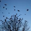 Crows gather in a tree top on Broad Street in Lynn Thursday Janurary 14, 2010. Item Photo/ Reba M. Saldanha