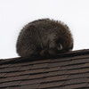 A raccoon take a nap on the roof of the house at 31 Greystone Road in Saugus.