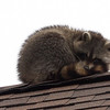 A raccoon takes a ap on the roof of the house at 31 Greystone Road in Saugus.