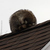 A raccoon takes a nap on the roof of the house at 31 Greystone Road in Saugus.
