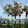 A man walks by flowers in full bloom along the Lynn waterfront Monday April 26, 2010. Item Photo/ Reba M. Saldanha