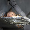 A morning dove nesting on a trim tab of a boat at the Volunteer Yacht Club in Lynn.