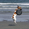 Sadie, a 5 year old Jack Russell terrier plays frisbee on Nahant's long beach Monday April 5, 2010. Item Photo/ Reba M. Saldanha