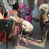 Dog Parade at Red Rock Park in Lynn Thursday August 19, 2010. Item Photo/ Reba M. Saldanha