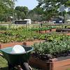 The Nahant Community Garden behind the Johnson School Thursday June 16, 2011. Item Photo/ Cyrus Moulton