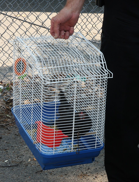The chicken and the cage were abandon on Linden Street in Lynn.