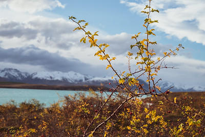 Thorny plant on high country land over looking Lake Tekapo looking towards Hall Range.