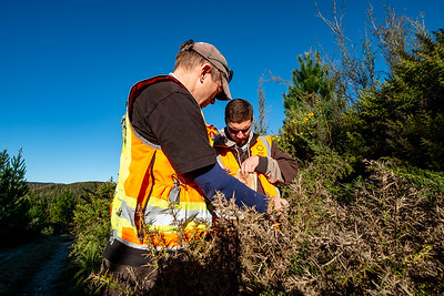 Field technician Morgan Coleman (from Manaaki Whenua Landcare Research) and intern Taina Ngarimu-Goldsmith search for tagged Mānuka in a National Park near Nelson Lakes.