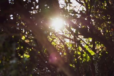 Sun flare through trees, soft focus