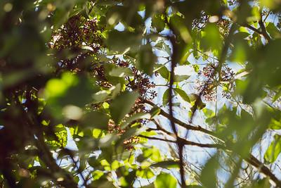 A waxeye hidden amongst tree leaves