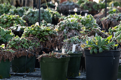 Plants being cared for inside a greenhouse onsite at Manaaki Whenua Landcare Research Lincoln.