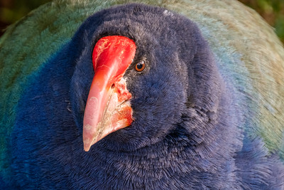 Takahē, a blue and green heavy flightless bird with a strong red beak.  Photographed at Orokonui ecosanctuary.