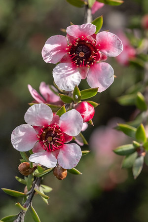 Leptospermum scoparium (Manuka) in the wild form has small white flowers but the discovery of very rare plants with red and double petals has lead to many ornamental cultivars of this species.  TO BE CONFIRMED**** this looks to b:Leptospermum Blushing Star is a new dwarf release in 2014 Will grow to about 1.5m in height with a spread of 2m