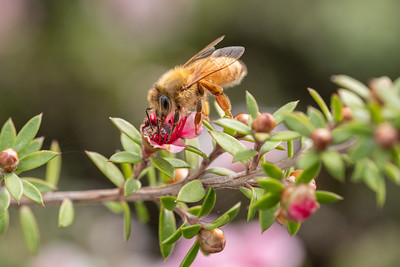 Honey bee on Martinii a cultivar of mānukā. leptospermum scoparium