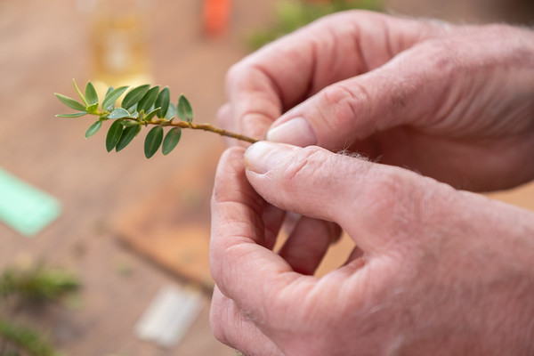 Taking cutting off a hebe (hebe drosmifolia).
