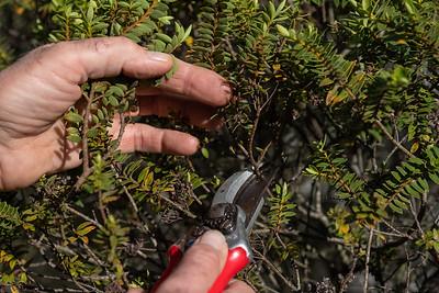 Taking cutting off a hebe (hebe drosmifolia) for an instructiona sheet.