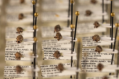 Specimems collected in 2007 as part of a nationwide survey to determine which species of Trichosirocalus are present in NZ.