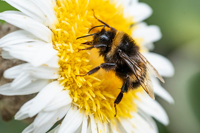 A bumble bee on the flower of Pachystegia insignis growing at the Lincoln site of Manaaki Whenua Landcare Research. Photograph by Bradley White