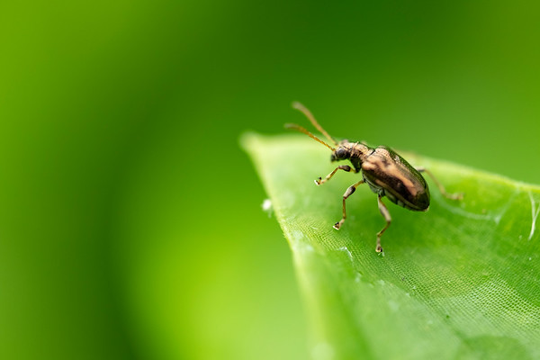 Tradescantia Leaf Beetle