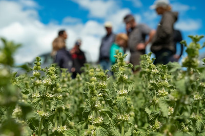 Farmers plan the release of the plume moth (Wheeleria spilodactylus) on the weed horehound in Tekapo.  Image by Bradley White