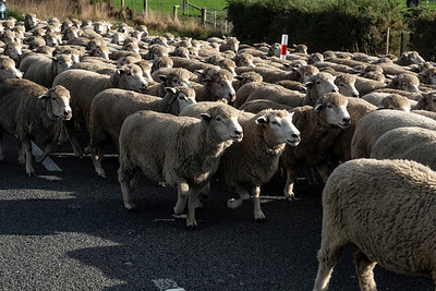 Sheep being moved along a road near Leeston.  Image by Bradley White for Manaaki Whenua