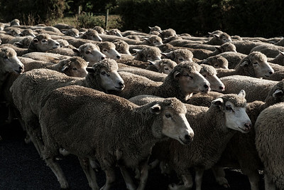 Sheep being moved along a road near Leeston.  Image by Bradley White