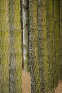 Weathered conifers