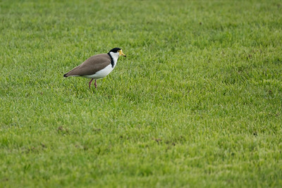 Spur_Wing Plover