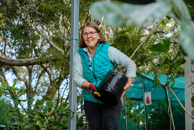 Robyn Simcock carries a young plant to the truck where the kaikomako (pennantia)  will be taken up to the Far North to Ngāti Kuri where they will be welcomed on to Te Hiku o te Ika, Ngataki.
