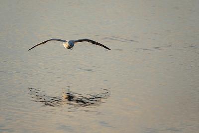 Black-billed gull at Ferrymead