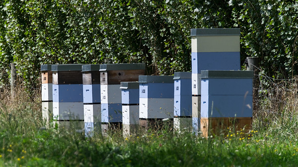 Honey Bees fly around beehives in Taitapu.