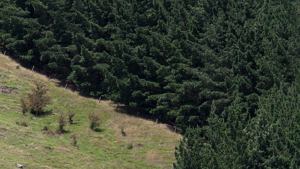 Pinetrees on a hill in Taitapu