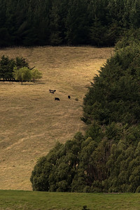 Cows graze on grass on a hill near pine trees in Taitapu.