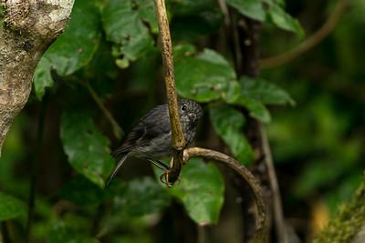 New Zealand robin, toutouwai, bush robin perches on a branch waiting for prey in Bushy Park in Whanganui, New Zealand.  Manaaki Whenua image by Bradley White