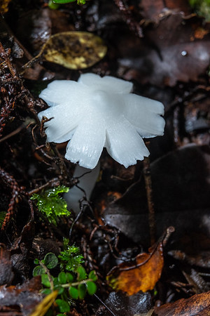 Humidicutus sp. found at the 32nd Fungal Foray held around Moana at Lake Brunner, West Coast, South Island NZ