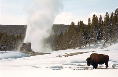 Bison And Geyser