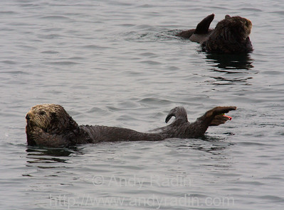 Photographing sea otters in downtown Monterey, CA