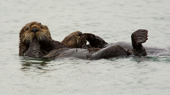 Photographing sea otters in Moss Landing, CA