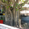 IMG_1324.JPG<br /> Cruising Colombia: Cartagena<br /> These trees are very nice; we later see enormous ones in Panama.
