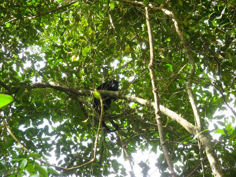 IMG_1076.JPG<br /> Strolling along the Rio Chagres.<br /> Monkeys