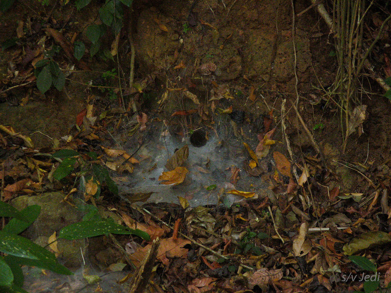IMG_1089.JPG<br /> Strolling along the Rio Chagres.<br /> Spiders