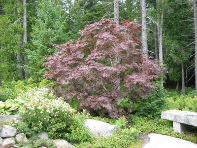Blair Glan- One of the many Japanese Maples featured in this beautiful Japaense Stroll Garden