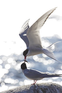 Arctic terns feeding each other