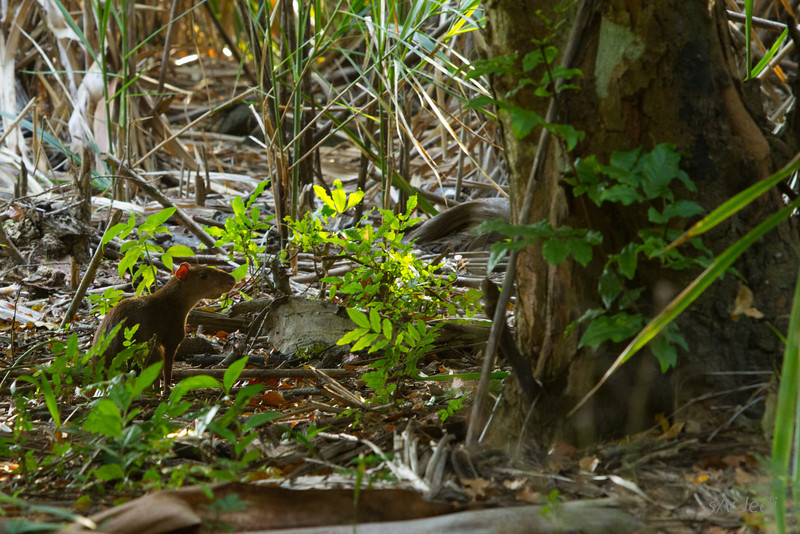 Walking along the edge of the jungle<br /> Finally something moves on the ground: it's an Agouti. This capture is at f/7.1 200mm, ISO 800 and 1/40 second. The image stabilizer allowed me  to take this shot without the monopod.