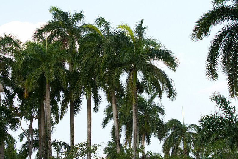 Walking along the edge of the jungle<br /> The palm trees were planted when this was a military US base.