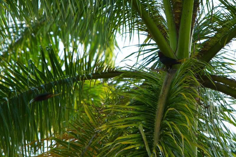 Walking along the edge of the jungle<br /> Chacaras are making a lot of noise but are very hard to find in the trees. Their nests are like hanging baskets, click the keywords to find them on this website.
